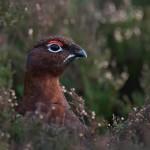 Red Grouse 2 CHoward Birley