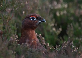 Red Grouse 2 CHoward Birley