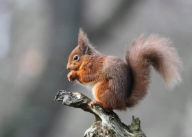Red Squirrel C Greg Morgan